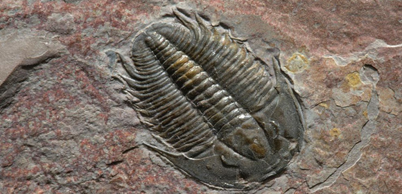 The mighty Trilobite (O-H-I-O)