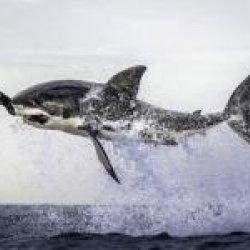 Shark Bait's picture