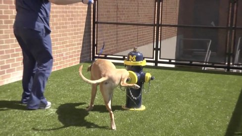 Here's a GIF of a dog pissing on the fire hydrant painted in Michigan colors at Ohio State's vet school.
